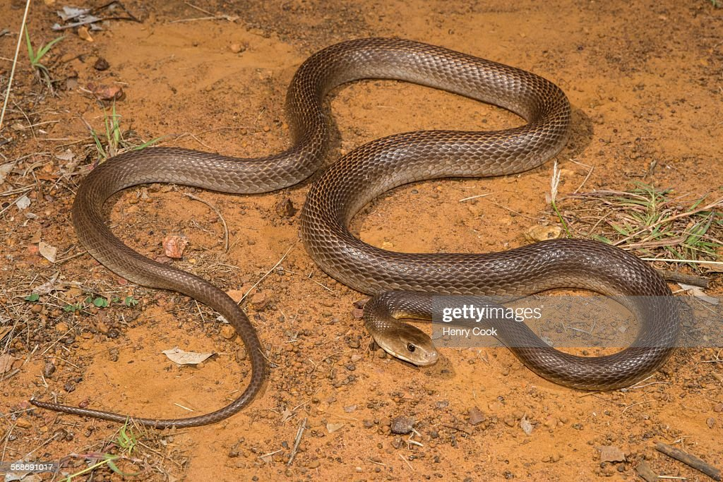 Coastal Taipan, Western Australia : Stock Photo