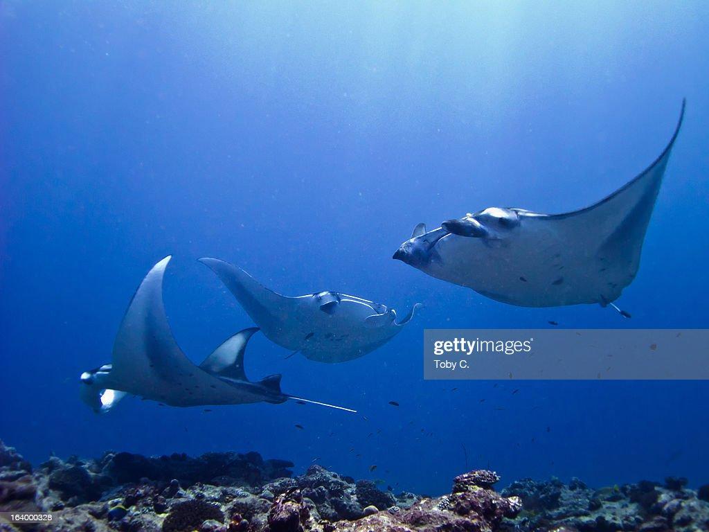 3 Coastal/Reef Manta Rays (Manta alfredi) : Stock Photo