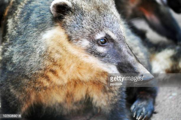 coati also known as the coatimundi - coati stock pictures, royalty-free photos & images