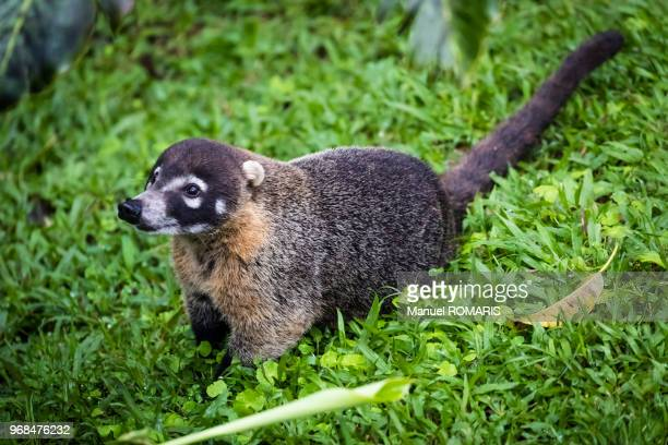 coati, arenal volcano national park, costa rica - coati stock pictures, royalty-free photos & images