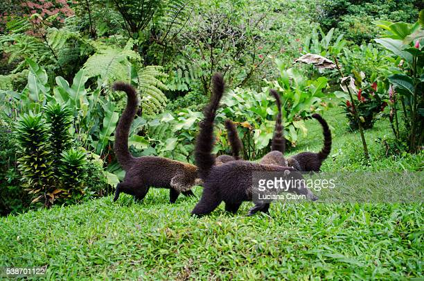 coati family - coati stock pictures, royalty-free photos & images