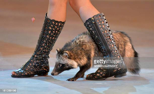 A coati follows its trainer during a show called the Caravan of Wonders at the National Circus in Kiev on September 19 2013 AFP PHOTO/ SERGEI SUPINSKY