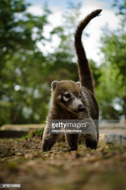 coati in park, chipinque ecological park, monterrey, mexico - coati stock pictures, royalty-free photos & images