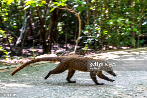 A Coati is seen eating in an area near the forest on September 27 2019 in Cancun Mexico Its habitat extends from northern Mexico to South America...