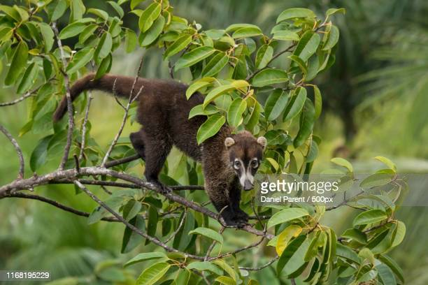 a coati sighting - coati stock pictures, royalty-free photos & images