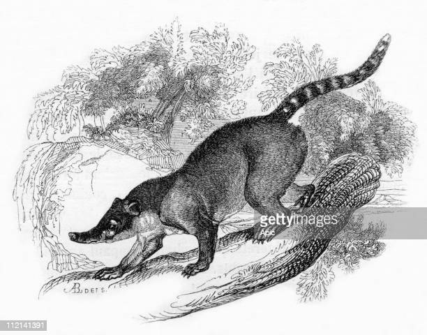 CoatiMondi of the 'jardin des plantes' in Paris engraving from book 'Le Jardin des plantes' by Pierre Boitard 1845