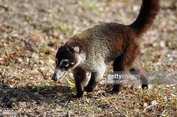 A coatimundi is seen at the National Palo Verde Park on April 8 2010 in Guanacaste some 220 kilometers Northeast from San Jose Recently the National...