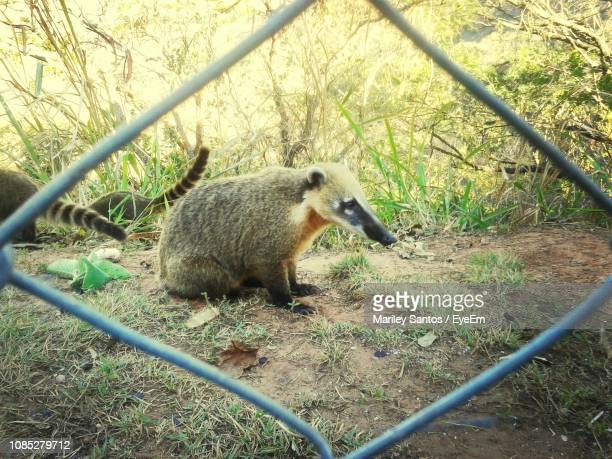coatis on field seen through fence - coati stock pictures, royalty-free photos & images