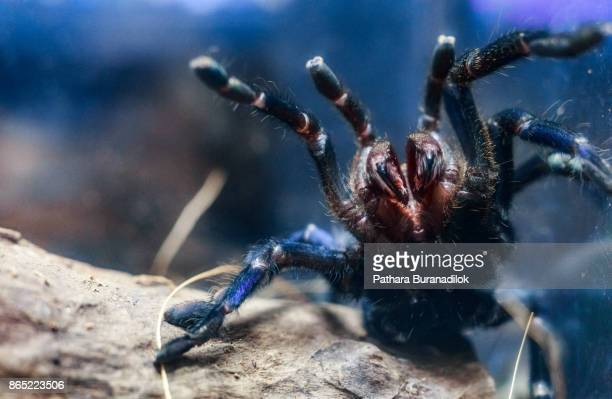 cobalt blue tarantula (fight mode) - spider stock pictures, royalty-free photos & images