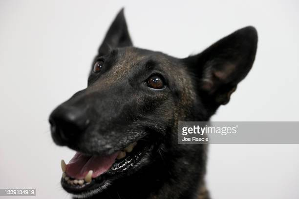 Cobra, a Belgian Malinois, waits for a command from Denise Webb before sniffing masks for the scent of COVID-19 at Miami International Airport on...
