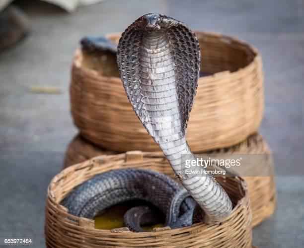 Cobra in basket