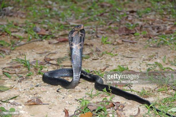 cobra on field - black snake stock pictures, royalty-free photos & images
