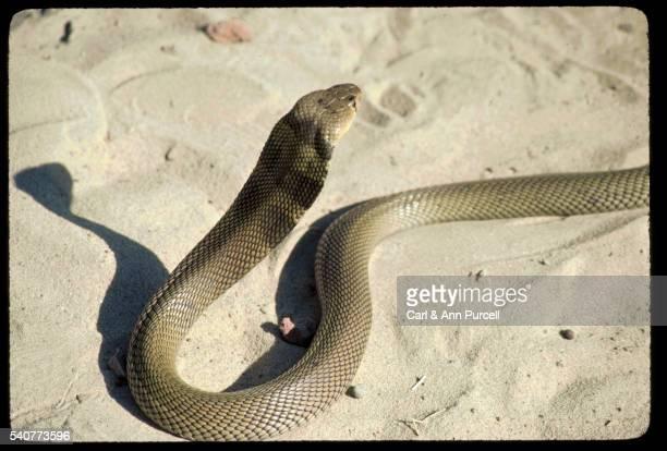 Cobra on Sand