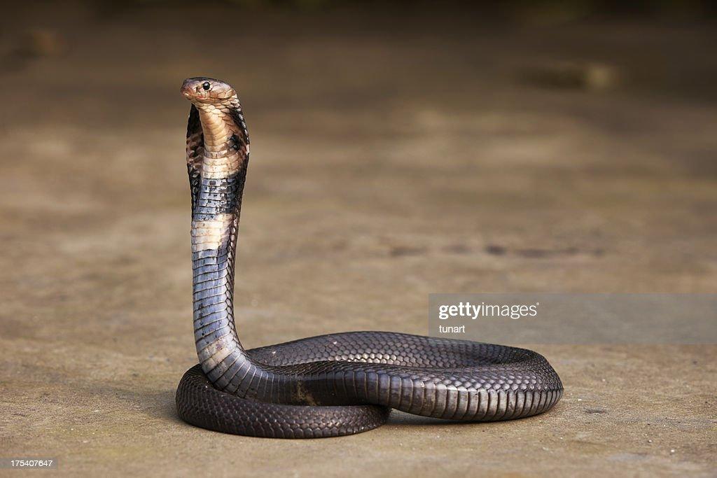Cobra : Stock Photo