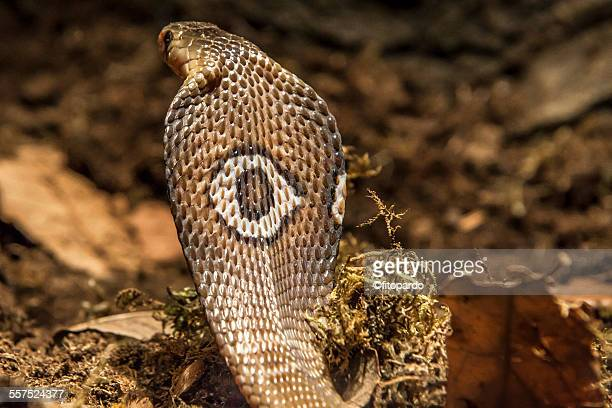 cobra snake - king cobra stock photos and pictures