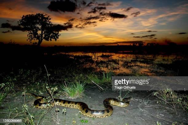 cobra sucurí da amazônia - anaconda snake stock pictures, royalty-free photos & images
