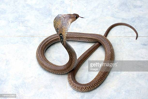 a cobra with its open hood - king cobra stock photos and pictures
