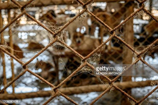 Cobwebs are pictured on a cage wire at a crowded enclosure at Auntie Ju's shelter for stray dogs on the outskirts of Bangkok on April 6 where some...
