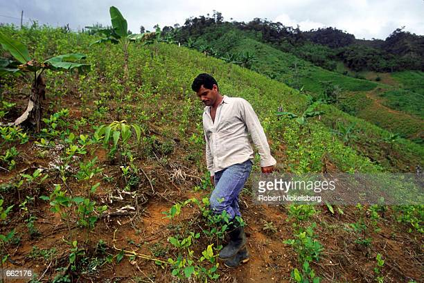 Coca farmer in the Puerto Rico region of Colombia's Cagyuan River Valley displays the leaves of the coca plant on his land August 25, 2000. The FARC...