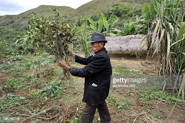 Coca grower Don Leandro Tului shows plants cut by a coca eradication team on October 24 2013 in the area around Miraflores a community near the Apolo...