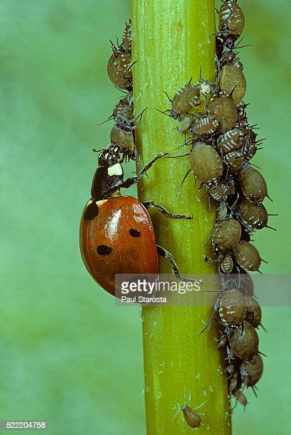 coccinella septempunctata (sevenspotted lady beetle) - devouring aphids - aphid stock pictures, royalty-free photos & images