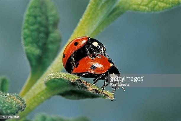 coccinella septempunctata (sevenspotted lady beetle) - mating - tierpaarung stock-fotos und bilder