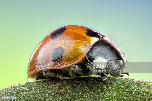 coccinella septempunctata, the seven-spot ladybird extreme close-up. - ladybug stock pictures, royalty-free photos & images