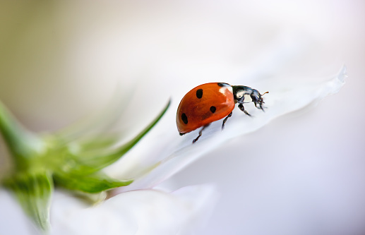 Coccinellidae Septempuntata, commonly known as a ladybird or Ladybug resting on a Cosmos flower - gettyimageskorea
