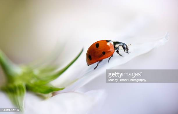 coccinellidae septempuntata, commonly known as a ladybird or ladybug resting on a cosmos flower - coccinella foto e immagini stock