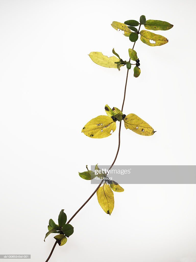 Cocculus orbiculatus on white background : Foto stock