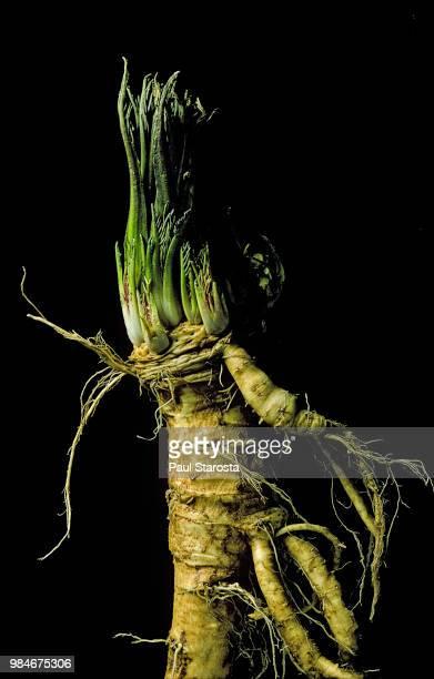 Cochlearia armoracia (horseradish)