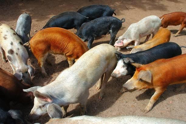cochons-de-toutes-les-couleurs-pigs-of-a
