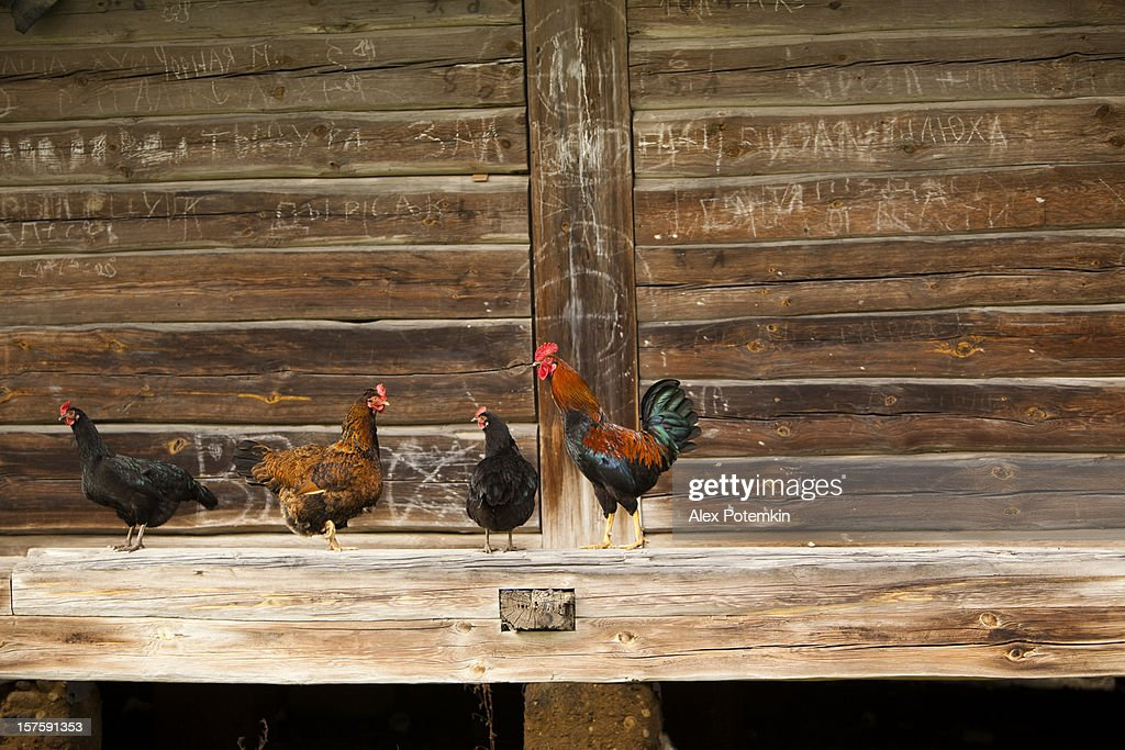 Cock and chikens : Stock Photo