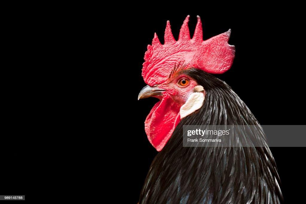 Cock, domestic chicken (Gallus domesticus), Germany : Stock Photo