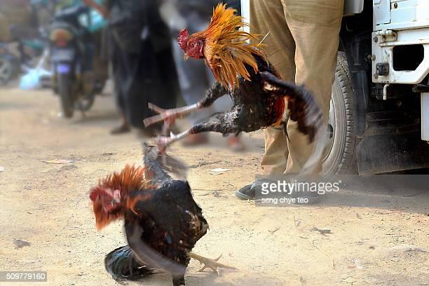 Cock fighting at Inle lake market