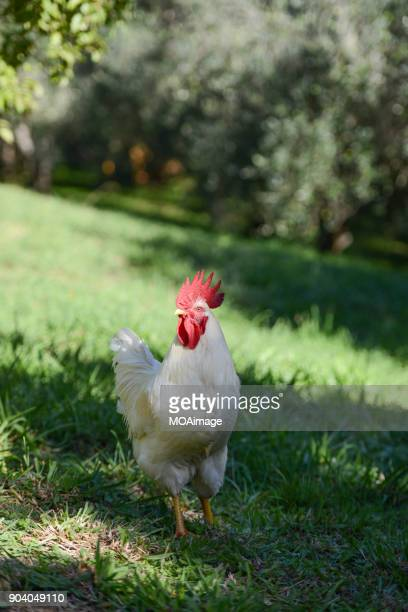 a cock - flightless bird stock photos and pictures