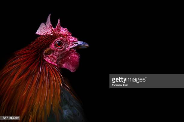 cock, year of rooster - rooster stock pictures, royalty-free photos & images