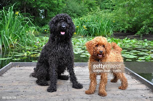 cockapoo and labradoodle sitting on pier over lake - labradoodle stock-fotos und bilder