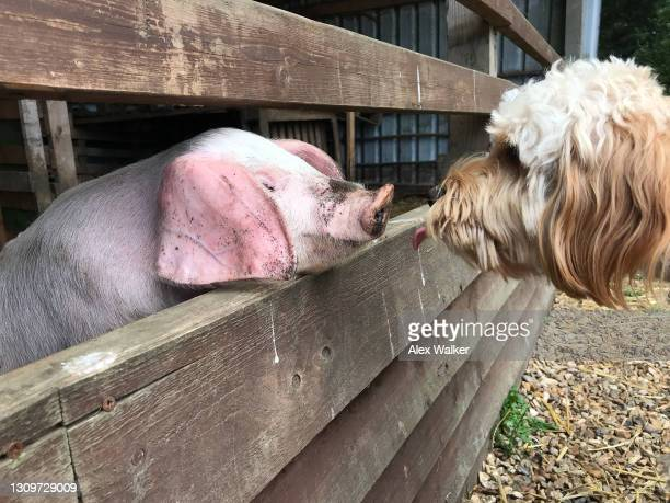 cockapoo dog face to face with a piglet - wildlife stock pictures, royalty-free photos & images