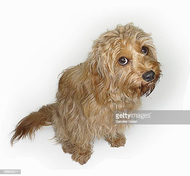 cockapoo dog looking up - gandee stock pictures, royalty-free photos & images