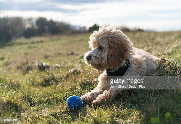 cockapoo laying on the grass with a blue ball - blue balls pics stock pictures, royalty-free photos & images