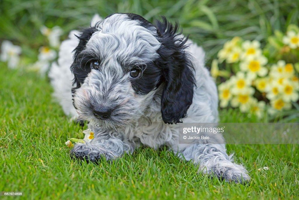 Cockapoo puppy eating primroses : Stock Photo