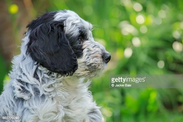 Cockapoo puppy in the garden