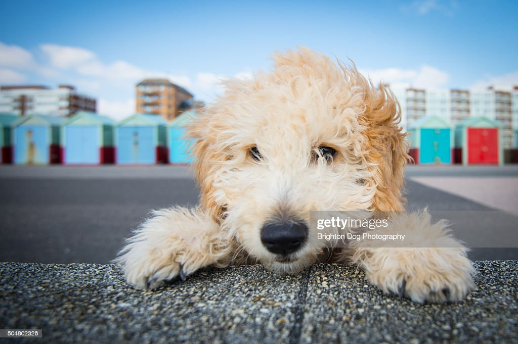 A Cockapoo puppy peering over a wall : Stock Photo
