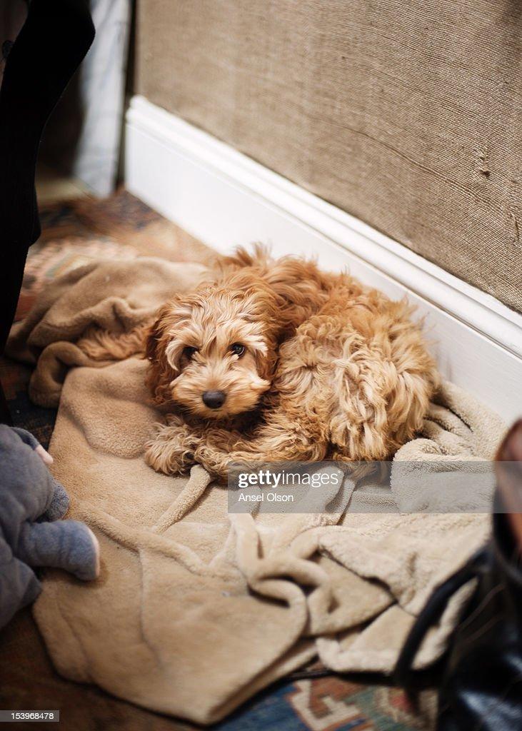Cockapoo puppy : Stock Photo