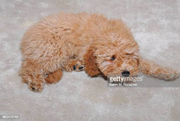 cockapoo puppy (6 mo) - cockapoo bildbanksfoton och bilder