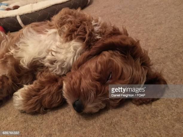 Cockapoo puppy sleeping