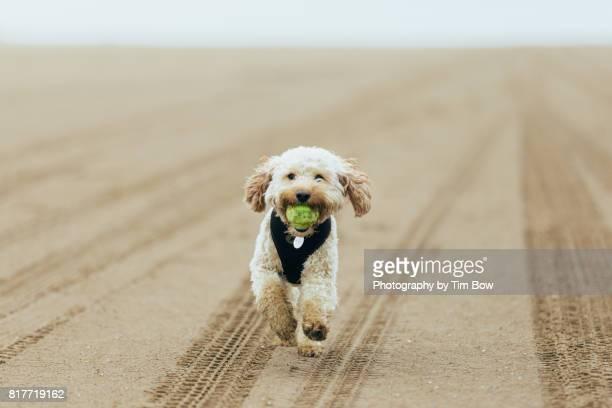 Cockapoo running on the beach