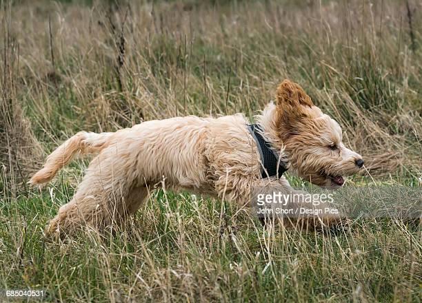Cockapoo running through a grass field