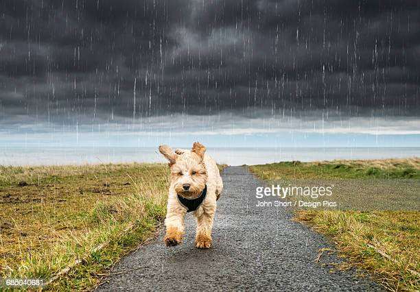 A cockapoo running up a path with ominous storm clouds and rainfall in the background